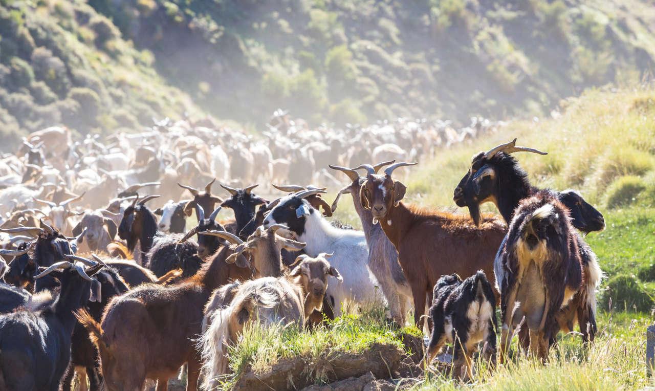 Rebaño de Cabra